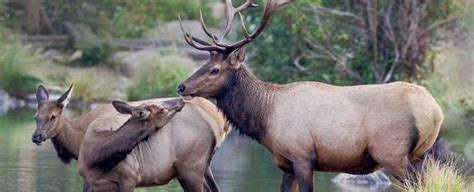 Current and Recent Research - Elk - Rocky Mountain