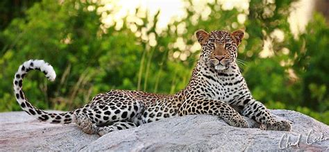 Lifting of ban on leopard hunting leaves conservationists